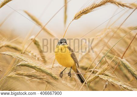 Western Yellow Wagtail. Motacilla Flava Is A Small Passerine In The Wagtail Family Motacillidae, Whi
