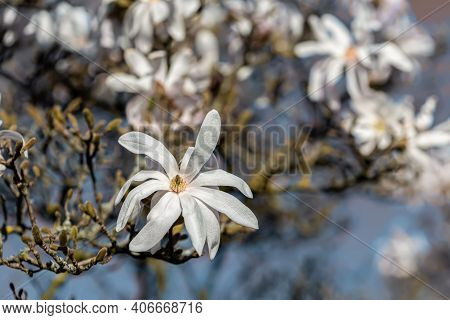 Magnolia Flowers With Yellow Stamens In Spring And Blurred Background With White Flowers On Tree Bra