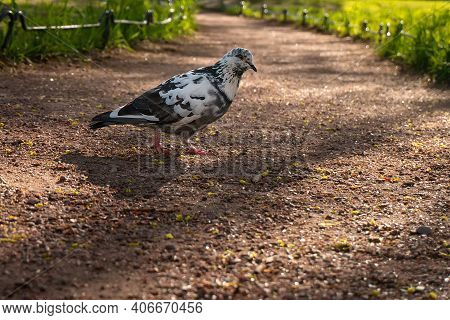 Motley Black And White Urban Pigeon Walking Outdoors On The Ground Path In Evening Park At Sunset. S