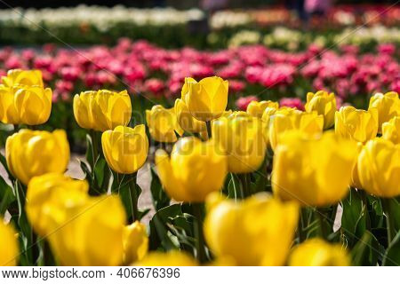 Yellow And Purple Tulips Bloom In The Garden In Spring. Beautiful Spring Flower Background. Soft Foc