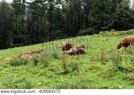 Brown Highland Scottish Cow (hielan Coo, Bo Ghaidhealach) Grazing On The Green Grass Pastures In Sco