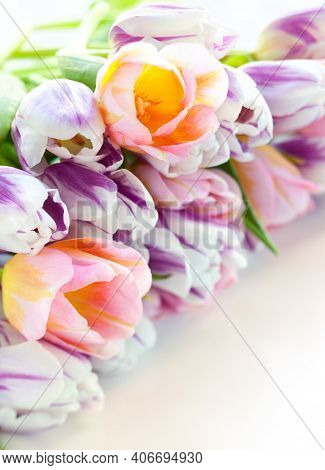 Colorful Tulips. Beautiful Tulips In Spring. Colorful Tulips. Tulips In The Garden. Beautiful Tulips
