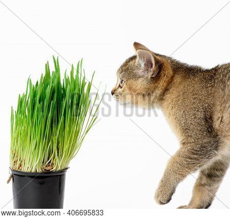 Kitten Scottish Chinchilla Straight Sits On A White Background, Close Up