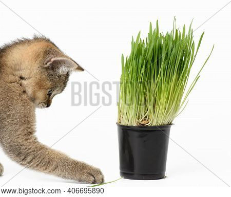 Kitten Golden Ticked Scottish Chinchilla Straight Sits On A White Background, Next To A Pot Of Growi