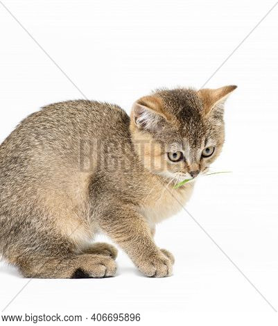 Kitten Golden Ticked Scottish Chinchilla Straight Sits On A White Background, Close Up