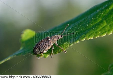 Common Leaf Weevil Phyllobius Pyri Snout Beetle On Plant Eating Leaf In Garden. Cute Little Insect I