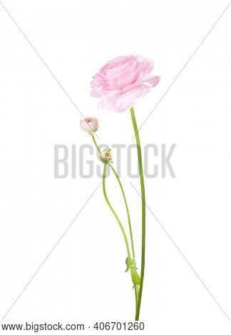 Ranunculus of pale pink color isolated on white background. Persian Buttercup