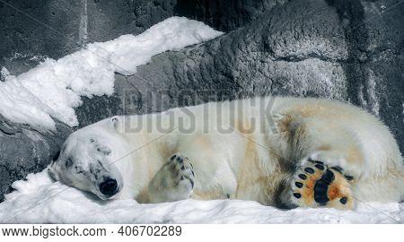 Polar White Bear Sleeping On Snow Rock. Sleeping Polar Bear In Zoo In White Winter. Polar White Bear