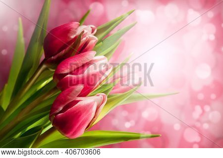 Tulips In A Tulip Field. Bright Tulips. Colorful Tulips In The Garden. Three Beautiful Tulips On A W