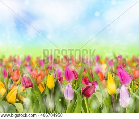 Multicolored Tulips Grow And Bloom Close To Each Other In A Tulip Garden. Tulips On A Sunny Summer O