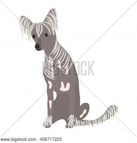 Chinese-crested Dog On White Background. Colorful Illustration. Vector.