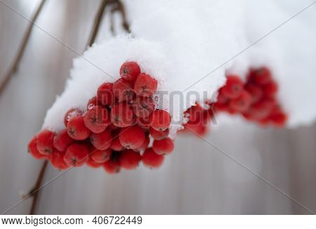 Rowan Tree Under The Snow. Red Bunches Branch Of Rowan Covered With The First Winter Snow. Bunch Of