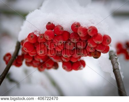 Bunch Of Red Mountain Ash Under The Snow. Winter Ashberry Under The Snow Close Up. Groups Of Bright
