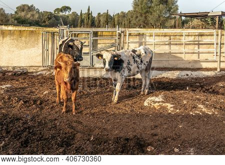 A Group Of Three Cows (bos Taurus) On A Sunny Morning On The Island Of Mallorca. Spain