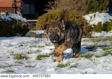 A Nine Weeks Old German Shepherd Puppy Runs And Look Straight Into The Camera With A Goofy Look. Sno