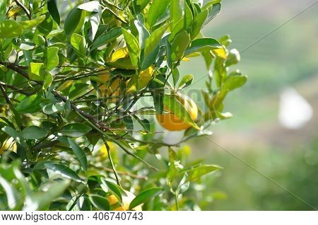 Orange Farm, Orange Tree In The Orchard