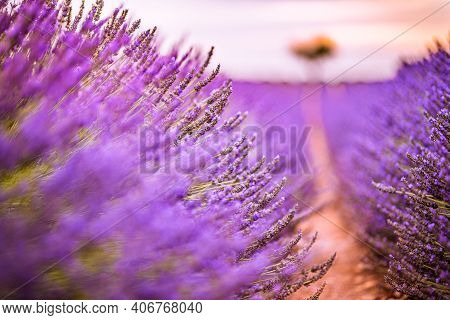 Stunning Landscape With Lavender Field At Sunset. Blooming Violet Fragrant Lavender Flowers With Sun