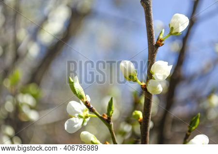 Beautiful White Apple Or Pear Blossom.flowering Apple Pear Tree.fresh Spring Background On Nature Ou