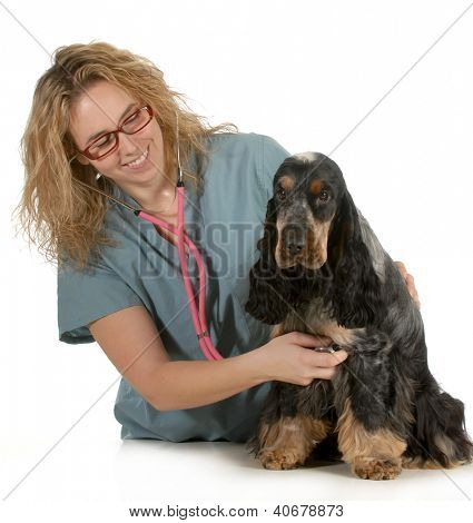 veterinary care - veterinarian listening to dog heart with stethoscope on white background - english cocker spaniel poster