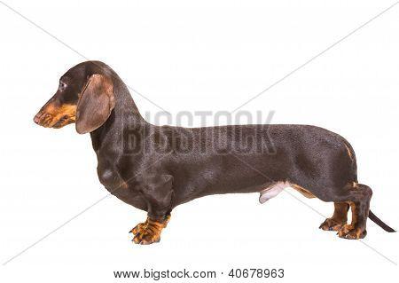 Chocolate Dachshund Puppy On Isolated White