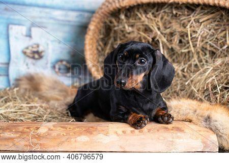 dachshund dog black tan color anddachshund dog piebald