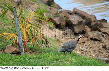 Guinea Fowl Numida Meleagris