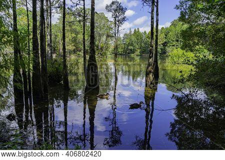 View From Lake Edge Of Mclaren Falls Lake Through Trees Growing In Water To Greenery Behind.