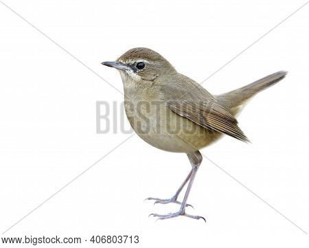 Beautiful Brown Bird Isolated On Whtie Background Showing Details From Face Head Body Tail Legs And