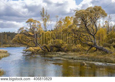 Willows Brittle On The Bank Of The Izvarka River In Golden Autumn. Leningrad Region, Russia
