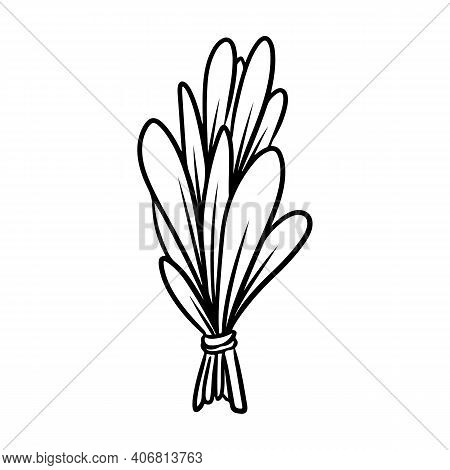 Sage Or Basil Smudge Stick Hand-drawn Doodle Isolated Icon. Vector Plant Leaves Image. White Sage He