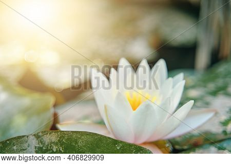 Water Lily Among The Green Foliage Under The Sunlight. White Lotus Flower With Yellow Stamens. Close