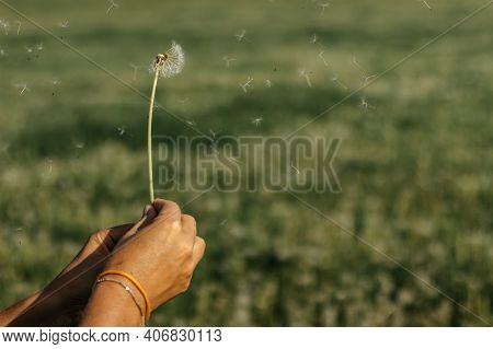 Hand Holding White Fluffy Dandelion Natural Green Background.fragile Dandelion Feathers Close Up.spr