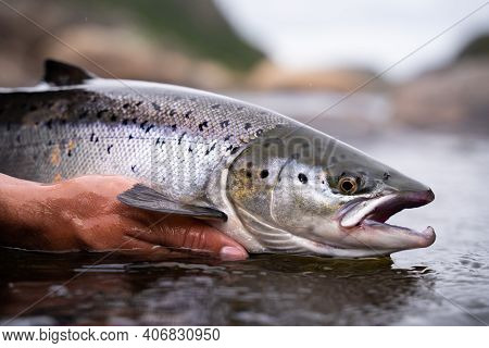 A Fisherman Releases Wild Atlantic Silver Salmon Into The Cold Water