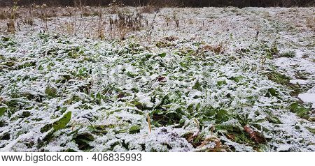 Snow-covered Field, Field Plants In The Snow. The Field With Green Grass Is Covered With Snow In Win