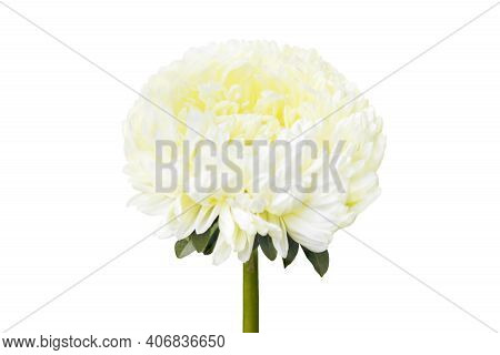 White Aster Flower Isolated On White Background. White Alpine Aster Growing From Autumn Garden Flowe