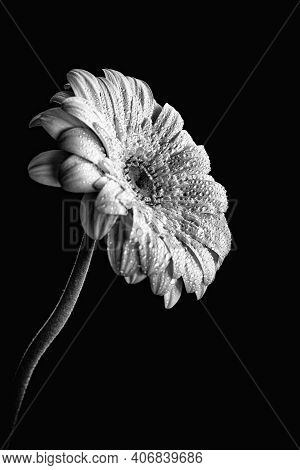 White Blooming Marguerite Flower With Waterdrops On Petals Isolated On Black Background. Monochrome