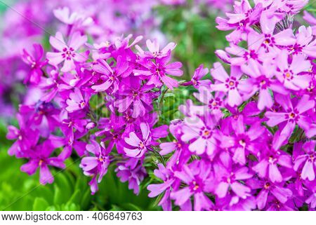 Close-up Of Pink Moss Phlox Flowers (ground Pink, Moss Pink)