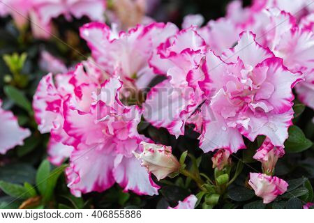 Rhododendron Flower. Flower In Garden At Spring Day. Flower For Decoration And Agriculture Concept D