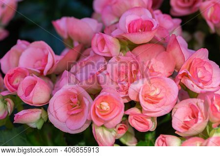 Rose-flower. Flower In Garden At Spring Day. Flower For Decoration And Agriculture Concept Design. C
