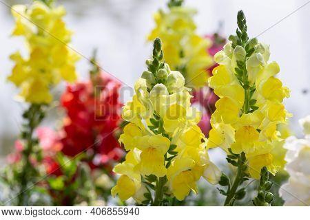 Snapdragon Flower. Flower In Garden At Spring Day. Flower For Decoration And Agriculture Concept Des