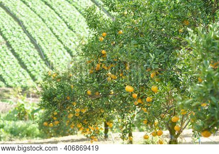 Orange Or Orange Farm, Orange Tree Or Orange Plant