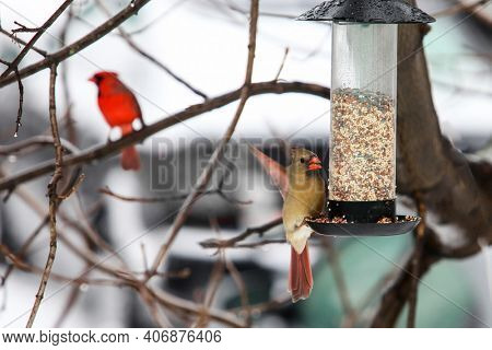 Cardinal female bird sitting outside on bird feeder with male cardinal in distance