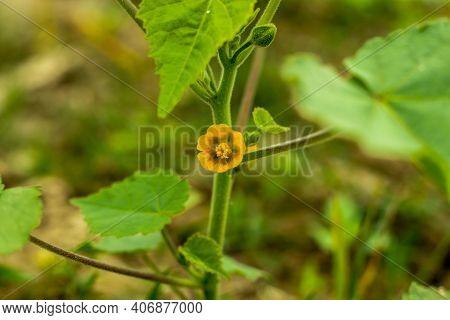 The Chingma-lantern Plant (physalis Alkekengi) Is Also Called Bladder Cherry, Chinese Lantern, Japan