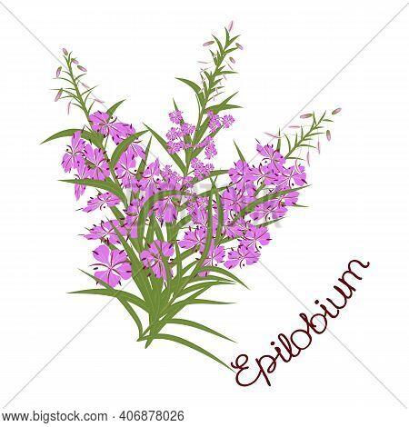 Fireweed (rosebay Willowherb), Willow-herb, Ivan-tea Medicinal Plant. Fireweed, Willow-herb, Ivan-te