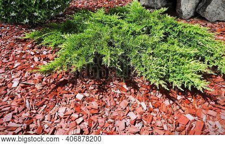 Plants Mulching With Cedar Bark Red Mulch In Green Garden. Chip Mulch Around Juniper Shrub & Bush Wi