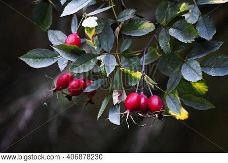 Rose Hip (rosehip) Briar Or Dogrose Bush Branch With Ripe Berries. Wild Rose Hip Berries & Leaf Clos