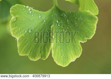 Ginkgo Biloba Leaves With Water Drops Close Up On Blurred Green Background.ginkgo Biloba Branch.usef