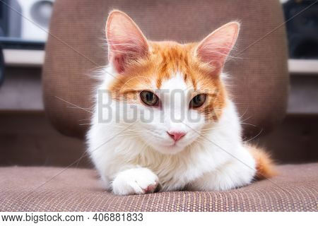 Young Cat White And Ginger Colour At Home. The Calm Cat Lies On A Chair. Lovely Home Pet.