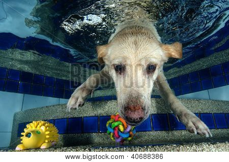 Beautiful Labrador Retriever Diving Underwater