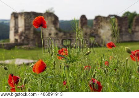 Red Poppies In Green Grass Against The Background Of The Destroyed Walls Of An Ancient Castle. Pidza